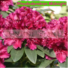 Rhododendron, Midnight