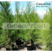 Casuarina  River She-Oak