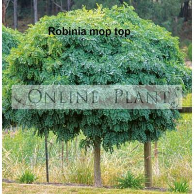 Robinia pseudoacacia Moptop