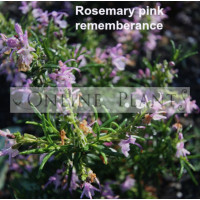 Rosemary Pink Rememberance