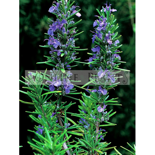 rosemary tuscan blue for sale