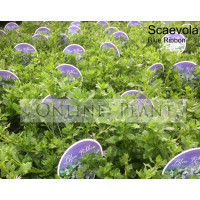 Scaevola Blue Ribbon