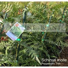 Schinus molle, Peppercorn Tree