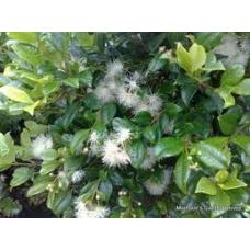 Syzygium australe Select Form