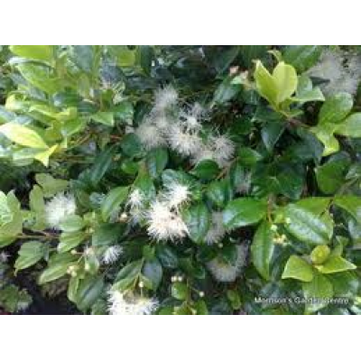 Syzygium australe Select Form