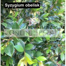 Syzygium australe Obelisk lilly pilly