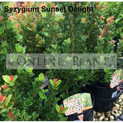 Syzygium Sunset Delight