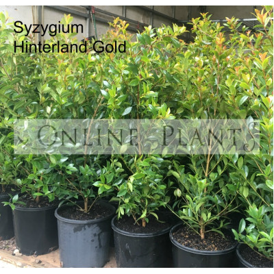 Syzygium Hinterland Gold, Lilly pilly