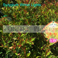 Syzygium Winter Lights lilly pilly