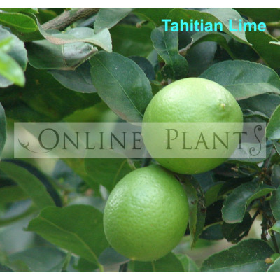 Citrus Tree Tahitian Lime