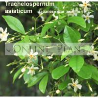 Trachelospermum asiaticum, Japanese star jasmine