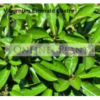 Viburnum Emerald Lustre