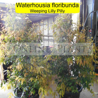 Waterhousea floribunda Weeping Lilly Pilly Hedge - Online Plants Australia