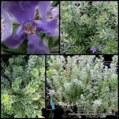 Westringia Fruticosa Variegated