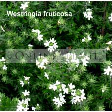 Westringia Fruticosa coastal rosemary