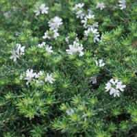 Westringia Fruticosa Prostrate