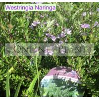 Westringia Naringa