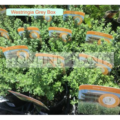 Westringia Grey Box™