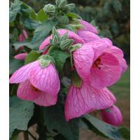 Abutilon  Chinese Lantern pink