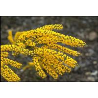 Acacia acinacea, Gold dust wattle
