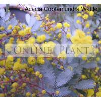 Acacia  Cootamundra wattle
