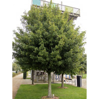 Acer campestre, Field Maple