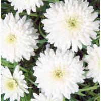 Argyanthemum Snow, Daisy
