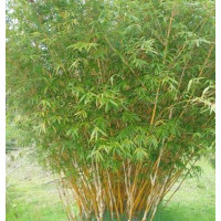 Bamboo multiplex Alphonse Karr