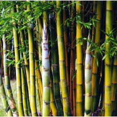 Bamboo Oldhamii, clumping bamboo
