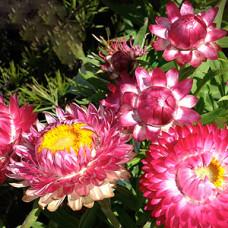 Bractheanthea Wallaby Cherry paper daisy