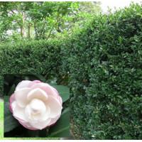 Camellia Sasanqua White Silk
