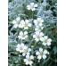 Cerastium snow in summer
