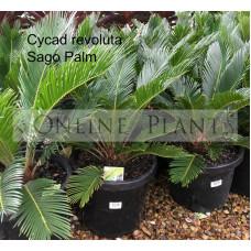 Cycad revoluta Sago palm