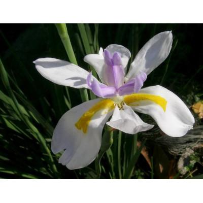 Dietes Iridioides Butterfly Iris
