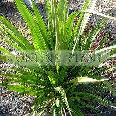 Doryanthes Excelsa Gymea Lilly