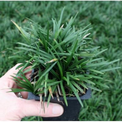 Ophiopogen Dwarf Mondo Grass