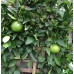 Espalier Lemon Tree