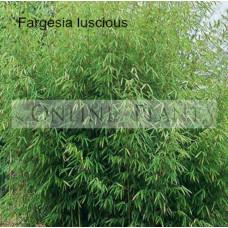 Fargesia Luscious bamboo