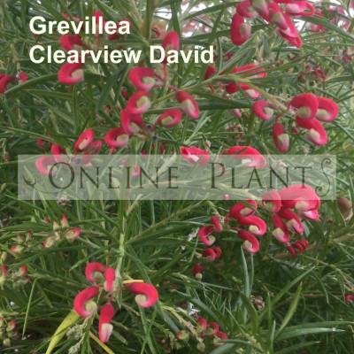 Grevillea Clearview David