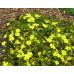 Hibbertia obtusifolia Guinea Flower