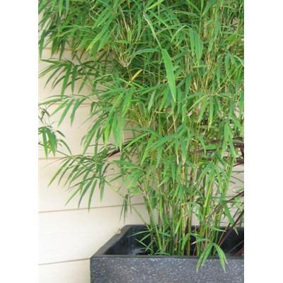 Drepanostachyum falcatum, Himalayan weeping bamboo