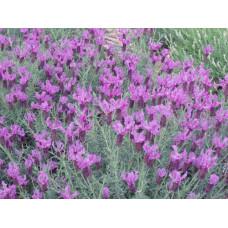 Lavender Ploughmans Purple