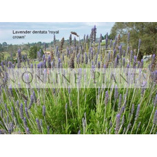 Lavender Dentata Royal Crown