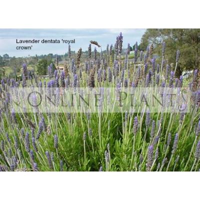 Lavender Dentata Royal Crown