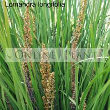 Lomandra Longifolia Mat rush
