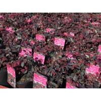 Loropetalum China Pink