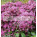 Loropetalum Burgundy