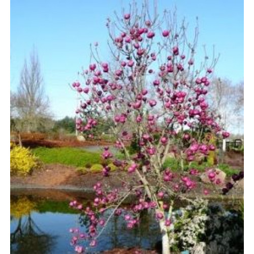 Magnolia Galaxy Plants And Trees Online Title