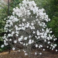 Magnolia Stellata Star Magnolia