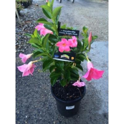 Mandevilla aloha bright pink